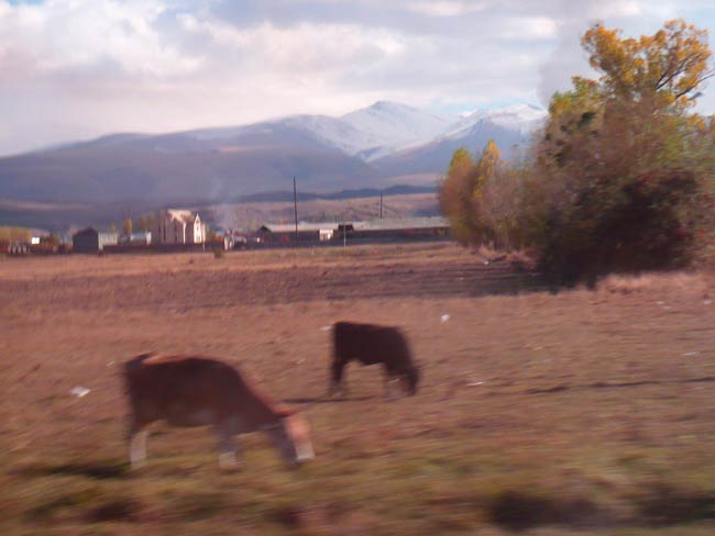 Cows Grazing in Armenian Field