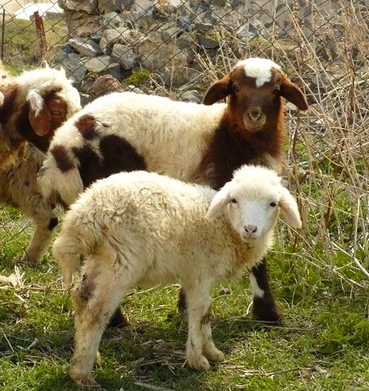 Sheep Staring