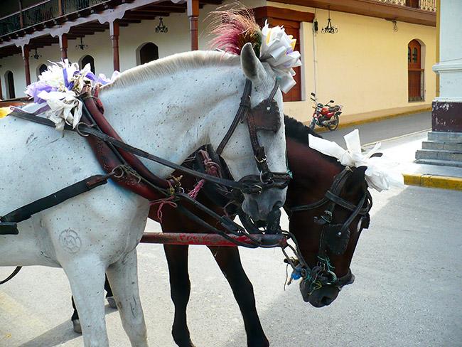 Horses in Managua